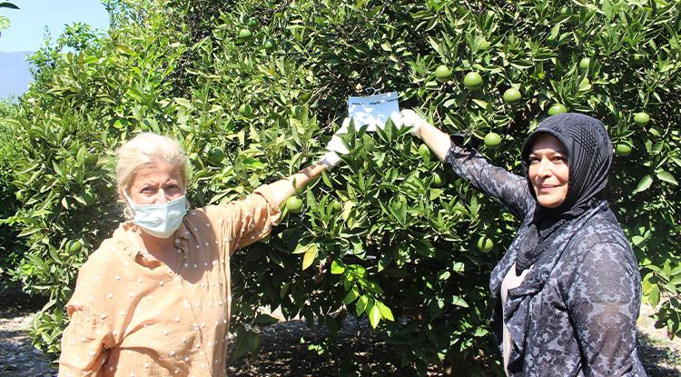 Akdeniz meyve sineğine karşı biyoteknik mücadele