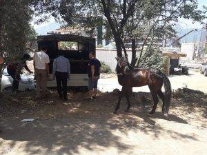 Alanya'da fayton ve atlar teslim alındı