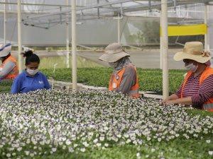Büyükşehir Belediyesi kendi çiçeğini üretiyor