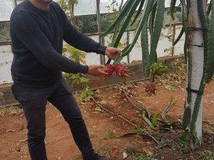 Konyaaltı'nda ejder meyvesinde ilk hasat